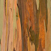 Eucalyptus_Bark_Nov242016_0043