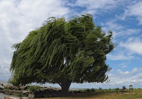 Edgewater Tree