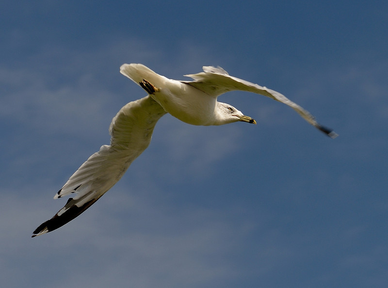 Gull over Lake Erie