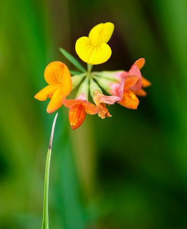 Wildflowers at the Brecksville Prairie