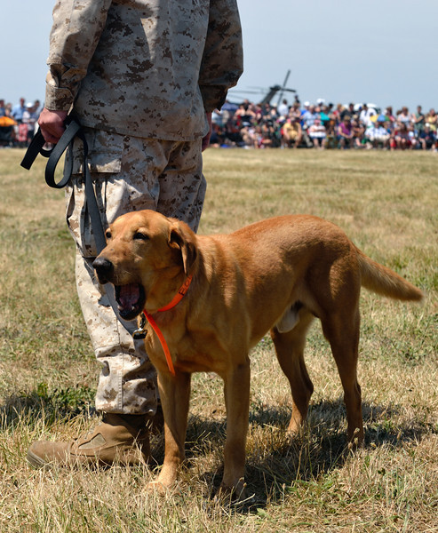 Marine Week Marine Working Dogs - These dogs are used to find explosives.