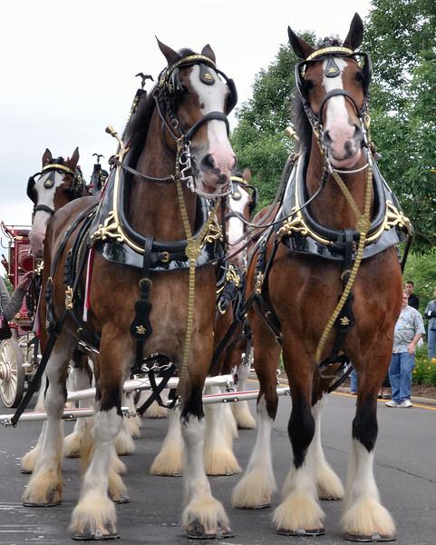 Clydesdales at the Brecksville Bicentennial Parade