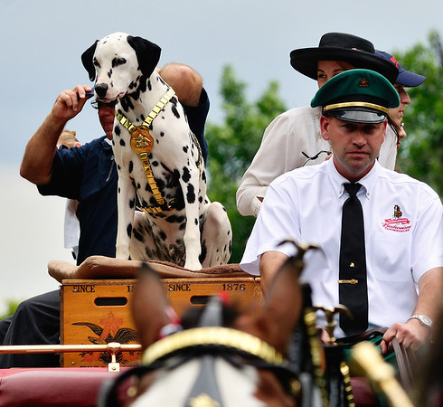 Budweiser Dalmatian - Brecksville Parade