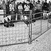 Turkey Races, Rodeo Austin - Austin, Texas
