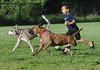 Jake, the three-legged pit bull, runs with Ethan Diaz, 4, Moline, and another dog park pal, Monday, May 18, 2015, at Moline's Dog Park. Ethan's family adopted Jake from the Rock Island County Animal Care and Control Shelter at the end of April. No one is really sure how Jake ended up going three for four in the leg department, but it doesn't seem to slow him down any.