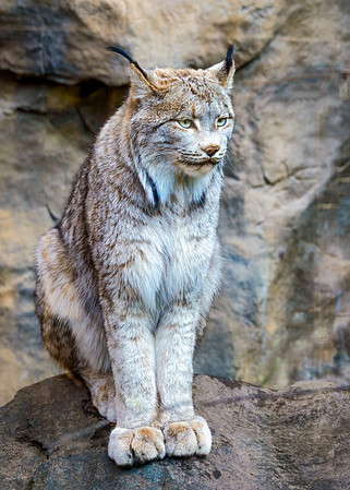 Canada Lynx - another beauty from the MN Zoo!