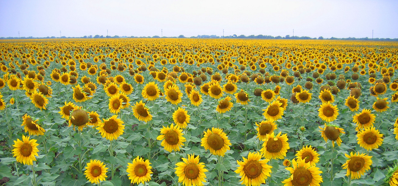 South Texas sunflowers.