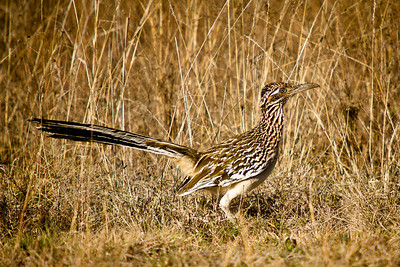 adult female greater roadrunner