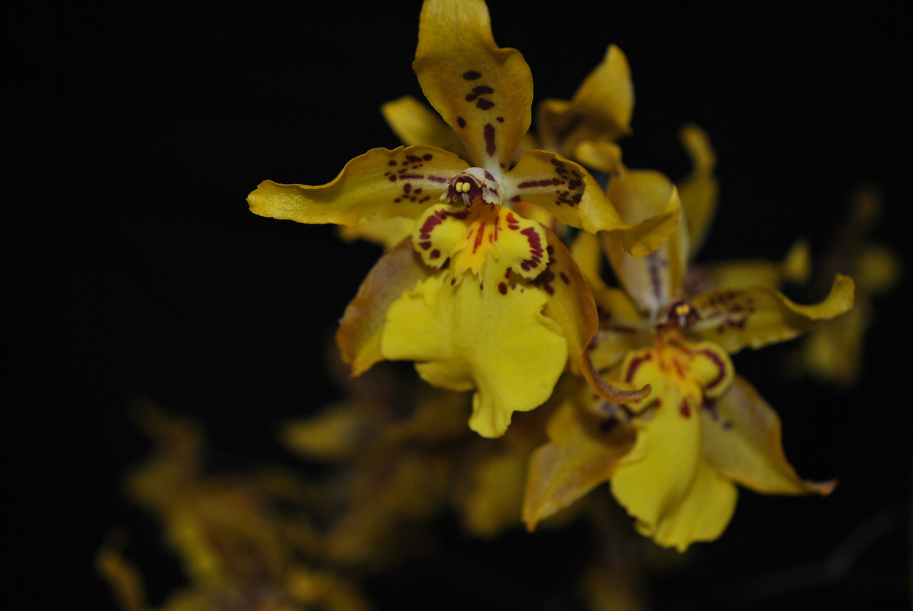 "Odcidium Tiger Crow ""Golden Girl"""
