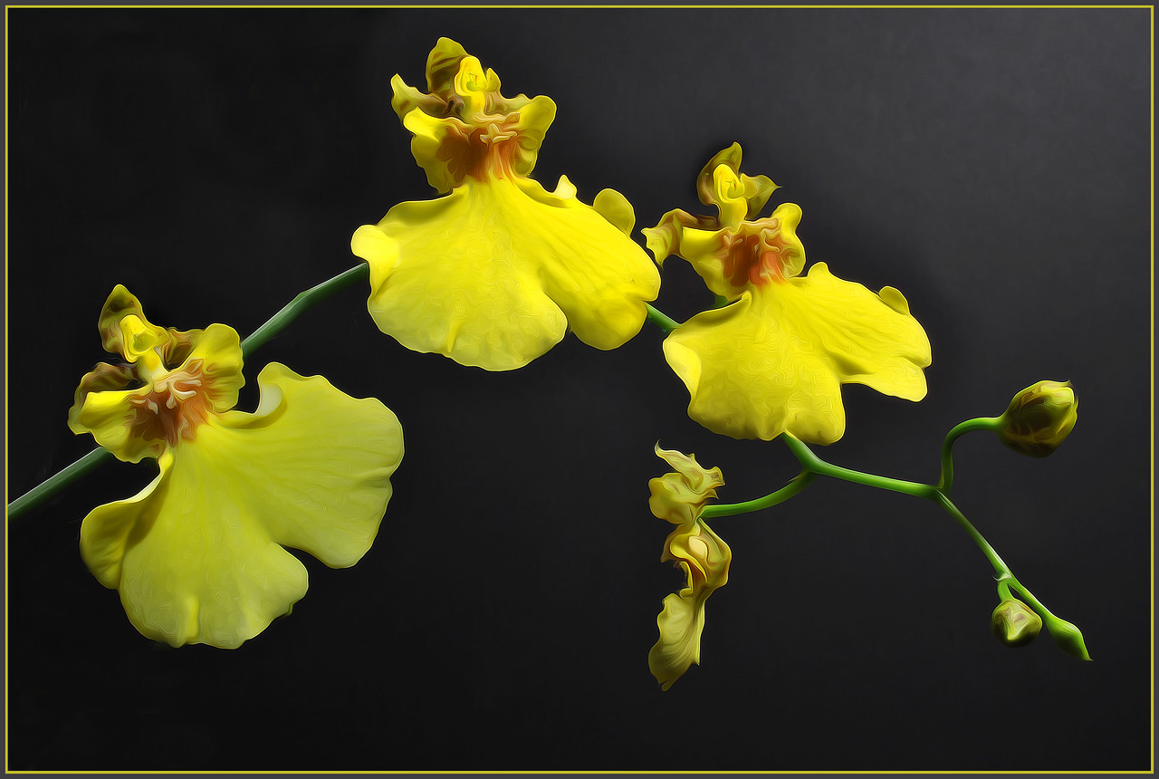Odcidium Sweet Sugar