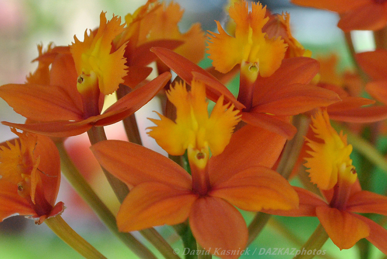 Epi. x obrienainum (Obrien's Star Orchid)
