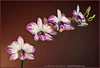 NN Splash, Dendrobium Enobi Purple