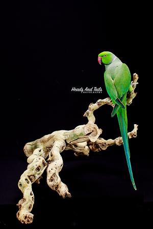 Eddie, the Indian Ringneck Parrot