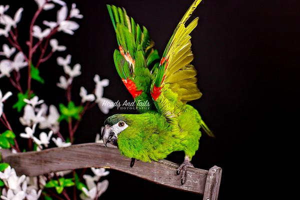 Kiwi, the Hahn's Macaw