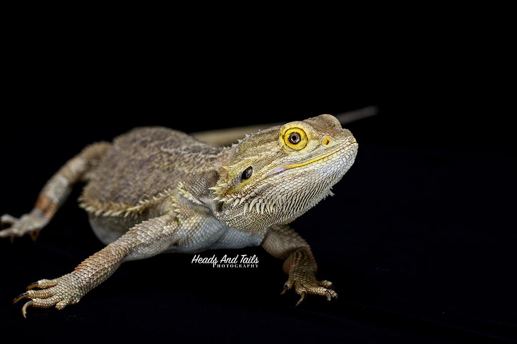 Arkham, the Bearded Dragon