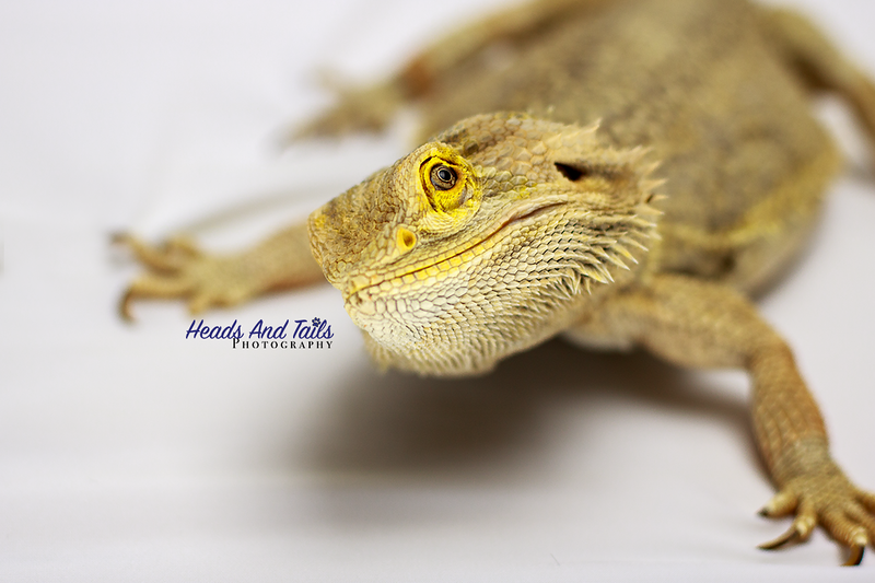 Arkham, the Bearded Dragon