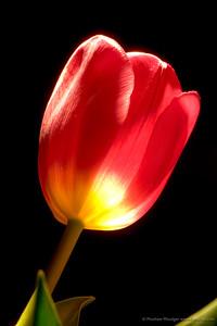 #88 Tulip Glow