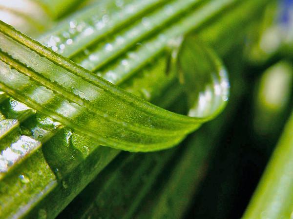 Celery Skin