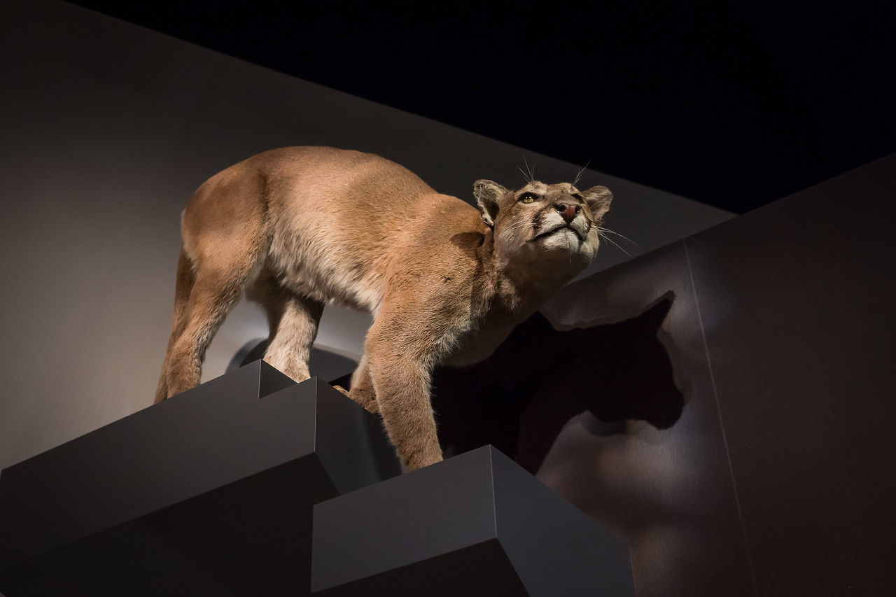 A mountain lion, so common these days in southern California