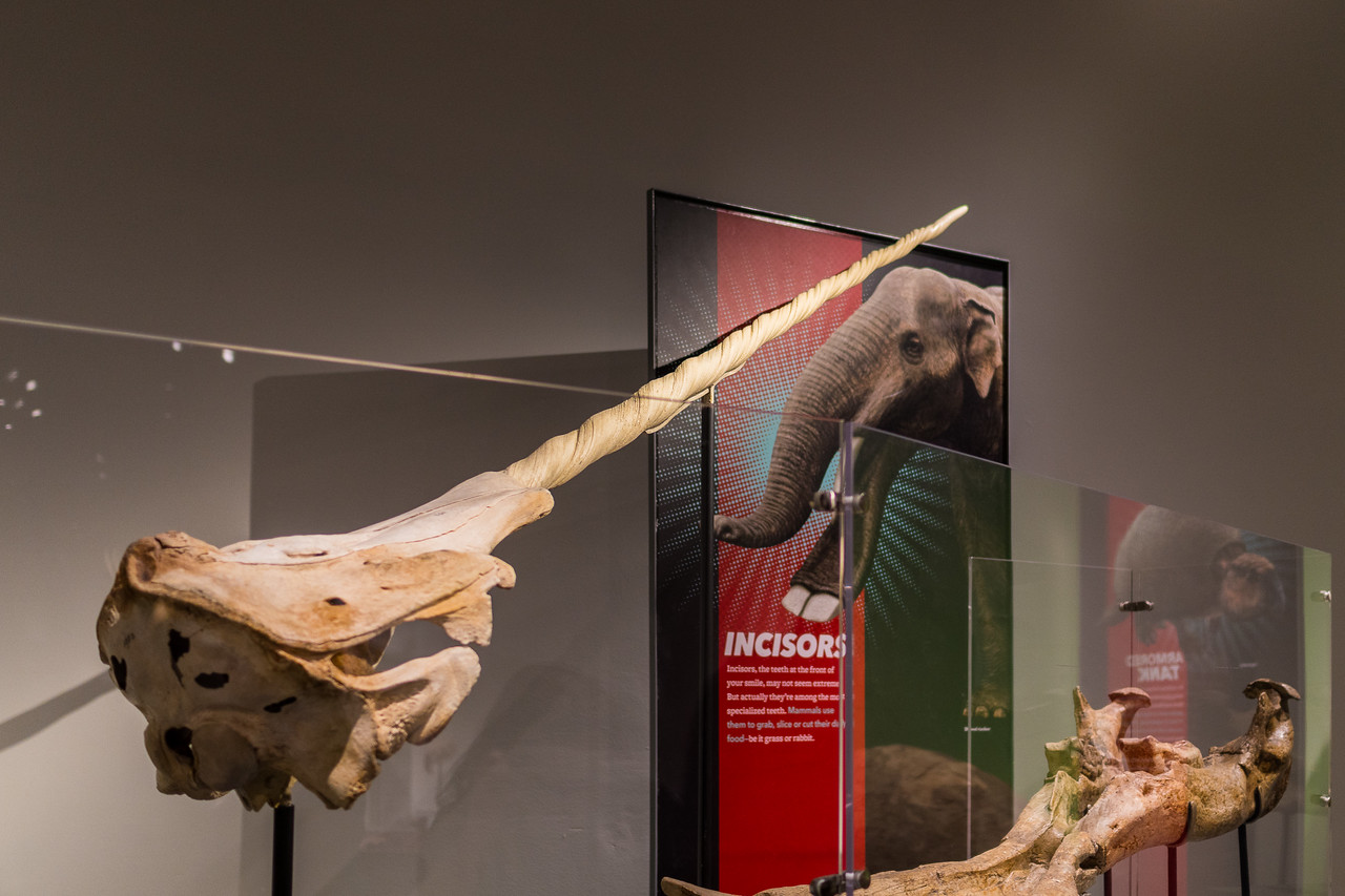 Narwhal tusk at the Extreme Mammals exhibit.