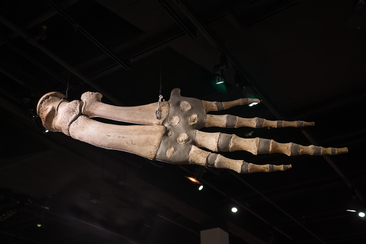 Flipper of a gray whale on display at Extreme Mammals