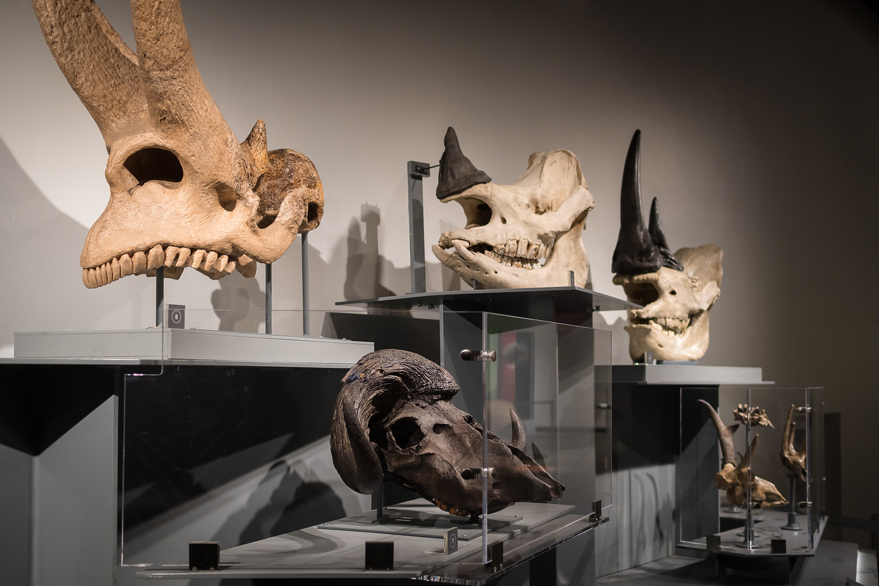Horns on display at Extreme Mammals