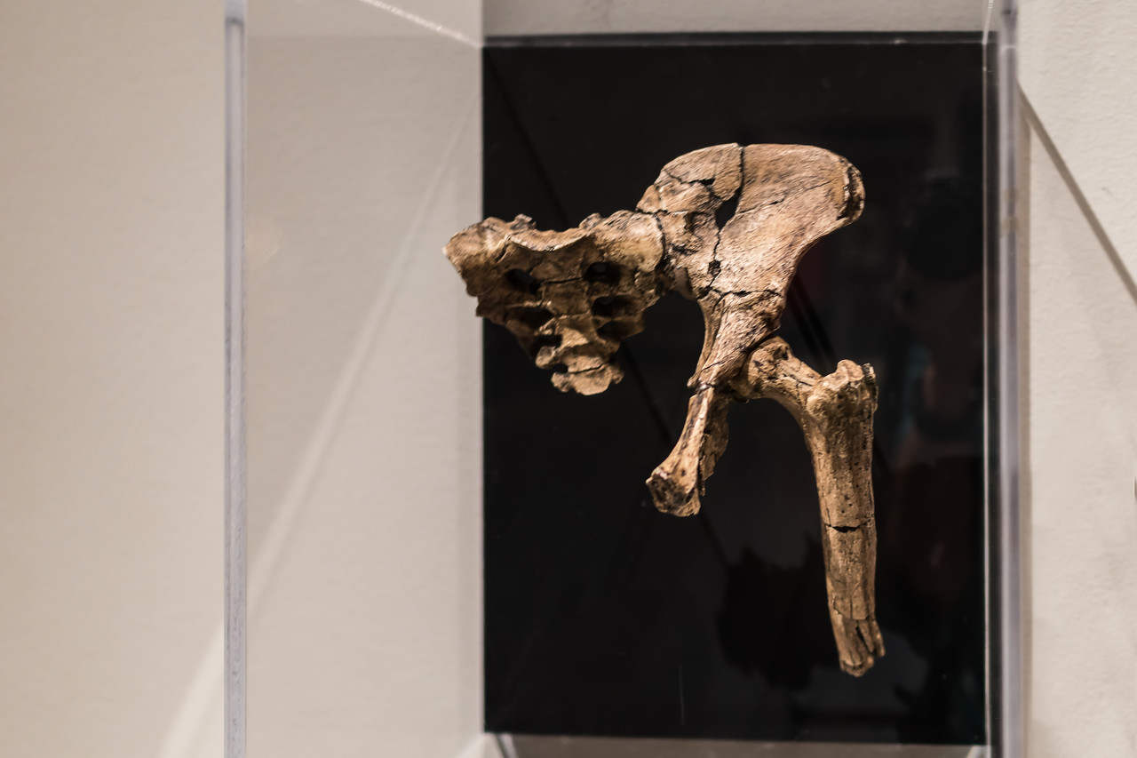 A cast (?) of Lucy's pelvis on display at Extreme Mammals
