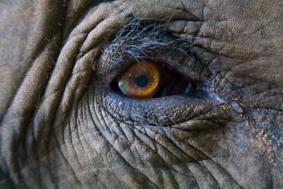 """Asian Elephant, Thailand. - """"Eyecontact"""" Photo Series - High Quality Prints Available"""