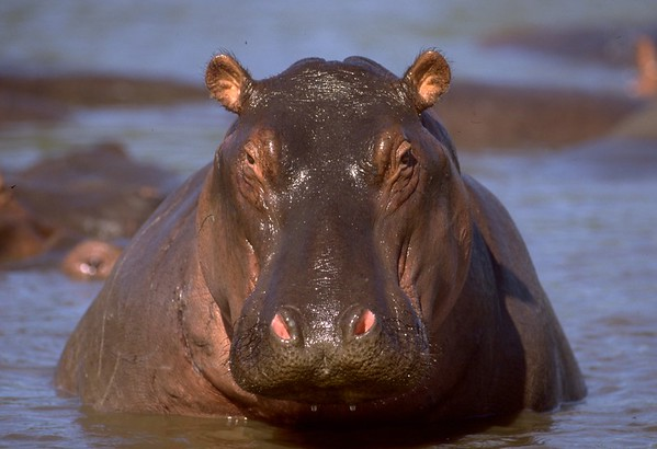Hippopotomi