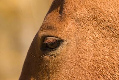 Horse eye in evening light