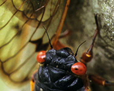 Head, eyes and wing of a 17 year locust, June 1998, Saint Louis, Missouri