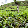 NUWARE ELIYA. TEA PLANTATION.