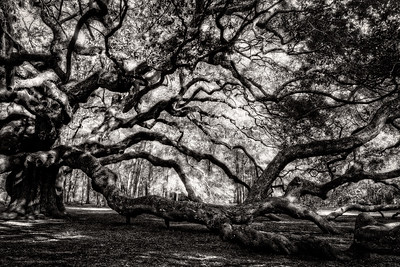 The Angel Oak One Side Black and White