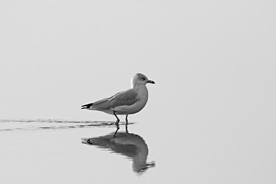 Gull Reflections