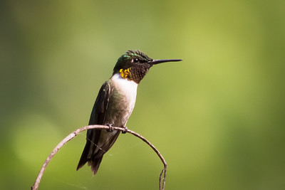 Ruby-Throated Hummingbird Perched