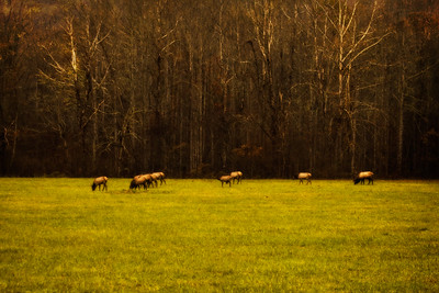 Grazing Elk in the Fall