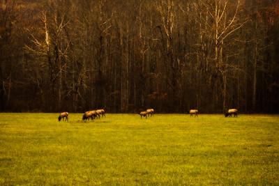 Grazing Elk in the Fall