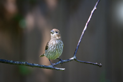 Finch on a Twig
