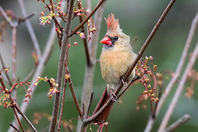 Springtime Female Cardinal