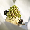 Beetles on a Magnoilia