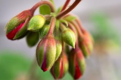 Emerging Geraniums