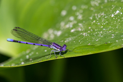 Blue Damsel Hello