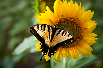 The Butterfly and the Sunflower