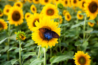 Painterly Butterfly and the Sunflowers