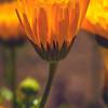 Buttercup Splendor