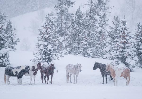 Herd of Snow
