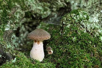 Armillaria Sp.