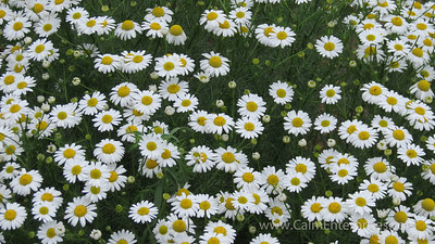 IMG_8663 4x6D Ox-Eye Daisy