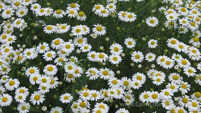 IMG_8663 4x6D Ox-Eye Daisy