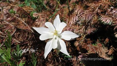 IMG_8727 4x6D White Columbine